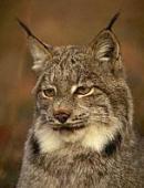 http://steellynx.narod.ru/Lynx/l.jpg